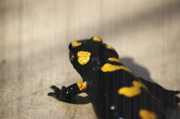 feuersalamander